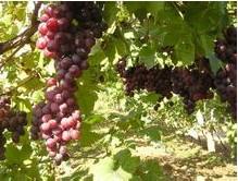 泰安大量出售:葡萄实生苗价格 基地