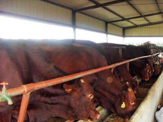 改良种公牛湖南小牛价格肉驴养殖波尔山羊