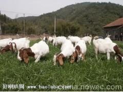 养殖20只波尔山羊需要投资多少成本波尔山羊养殖技术