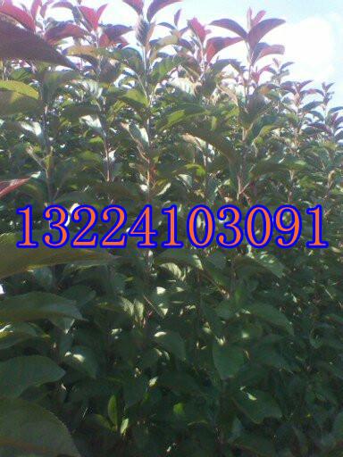 红宝石海棠-红宝石海棠苗
