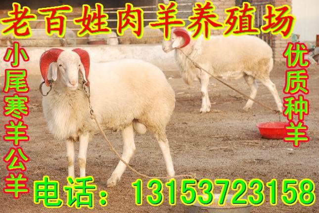 小尾寒羊养殖利润