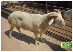 小尾寒羊养殖