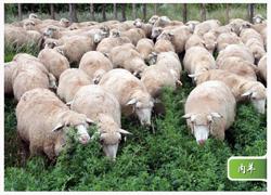 山东肉羊养殖