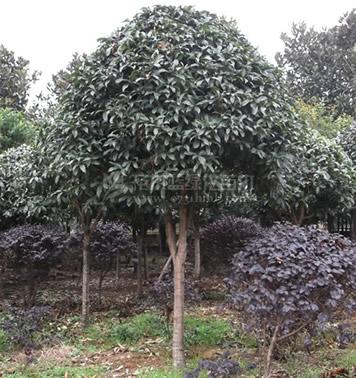 5公分桂花树,桂花树价格,湖南桂花树