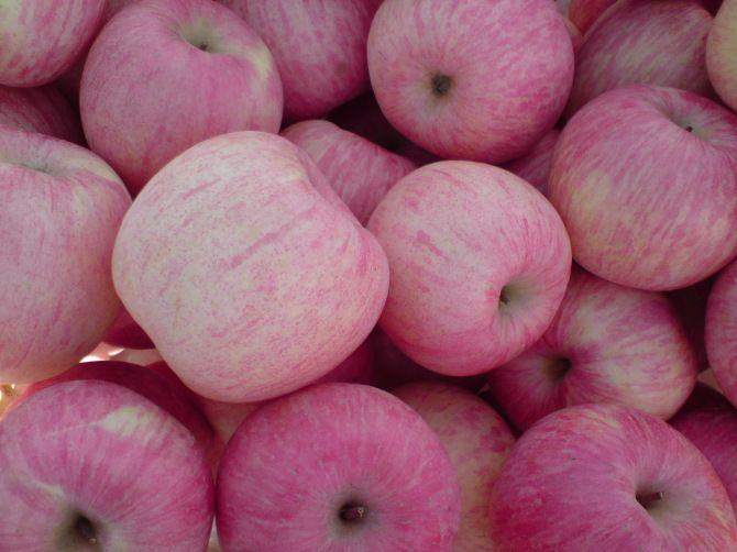 烟台苹果苗2-5公分小树 烟台苹果价格行情 烟台红富士苹果价格