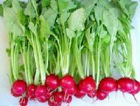 供应特菜蔬菜种子--樱桃萝卜种子