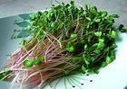 荞麦苗 蔬菜种苗 种苗批发