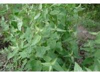 树状菠菜野菜蔬菜种子