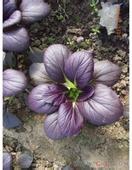 新优特菜—紫玉油菜蔬菜种子