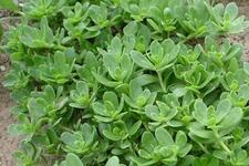 河南马苋菜种子热卖常见的蔬菜种子