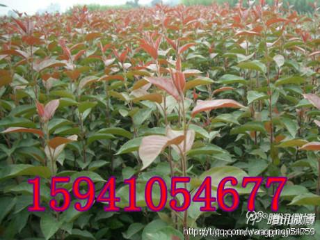 西丰紫叶海棠基地的形象照片