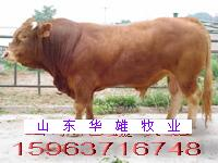 鲁西黄牛育肥小公牛犊