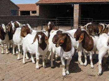 纯种波尔山羊育肥小羊羔