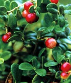 厂家提供优质98%熊果酸