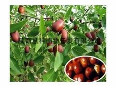 陕西慧科长期供应优质酸枣仁提取物