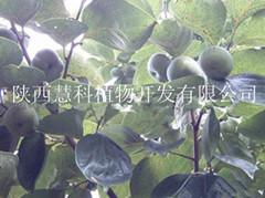 陕西慧科供应优质柿叶提取物
