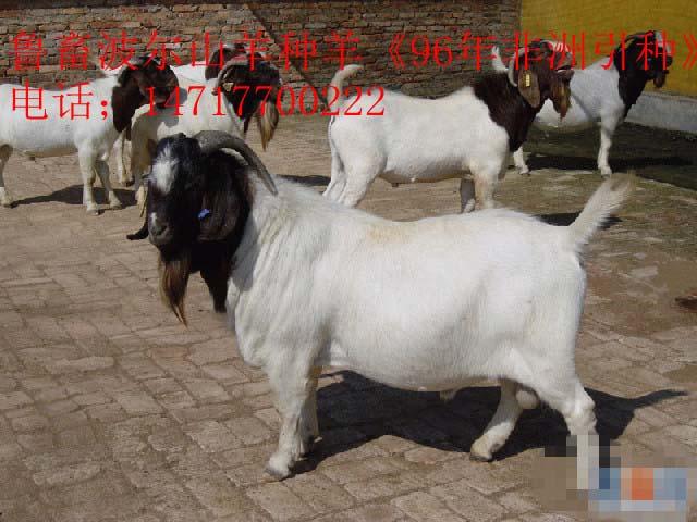 内蒙古肉羊价格