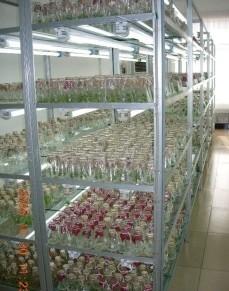 实验室单体培育蓝莓种苗