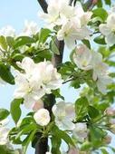 北美海棠苗,高原之火,开心果,垂丝海棠,西府海棠