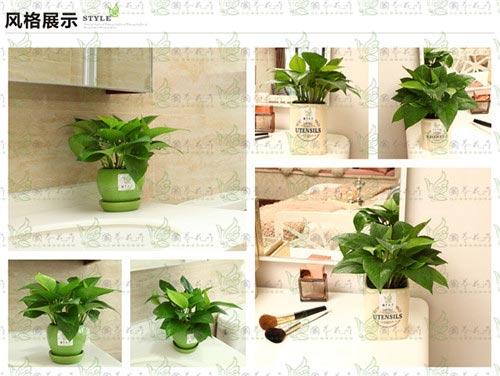 吊绿萝 天然氧吧室内观赏绿植
