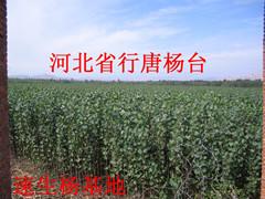 速生杨107 108
