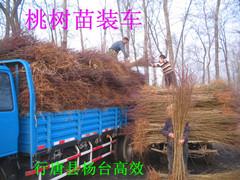 河北省石家庄有卖树苗卖果树苗出售果树苗的