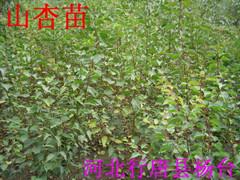 荒山荒坡栽种什么树----山杏树