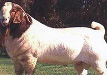 养羊技术宝典