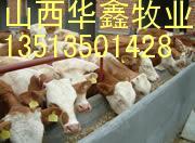 湖北肉牛养殖基地 湖北肉牛养殖养殖前景和效益分析