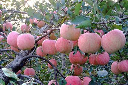 苹果苗价格