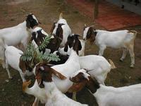 山羊养殖技术冬季养羊如何管理