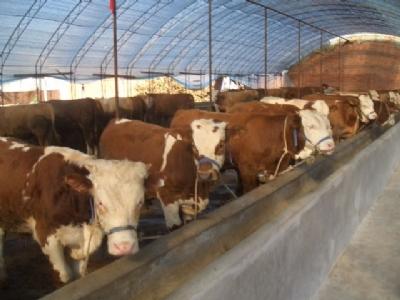 西门塔尔牛 肉牛犊育肥期短 抗病能力强 出栏快