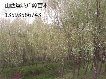 柳树出售3-12公分、金丝垂柳、张和柳、普通柳树