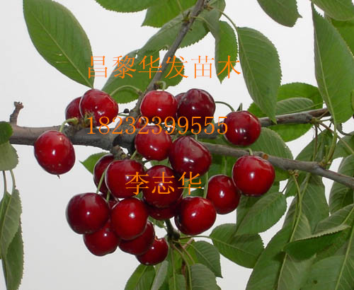 供应苹果苗矮化苹果苗优质苹果苗
