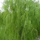 水杨甙Salicin