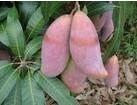 芒果甙Mangiferin