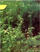 缬草提取物Valerian Root Extract