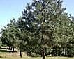 油松、樟子松、桧柏