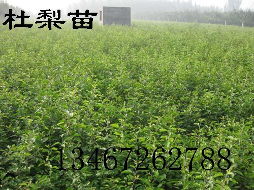 哪里有杜梨苗、杜梨苗苗木群、杜梨苗价格、杜梨苗种植