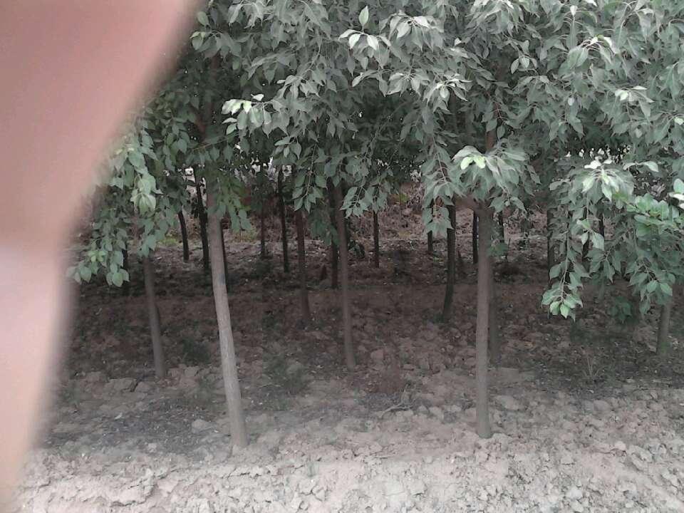 山西运城茂盛苗木基地的形象照片