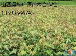 五角枫出售、2-5公分五角枫低价供应