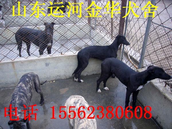 育肥肉狗品种,肉狗养殖,猎犬格力犬