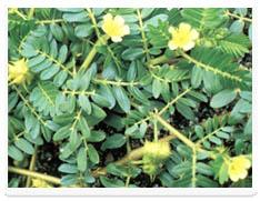 刺蒺藜总皂苷Saponins