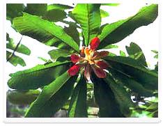 厚朴酚Magnolol