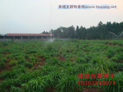 湖南冬季好牧草-优质纯正黑麦草种子