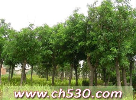 江西省绿化苗木基地上饶市国槐|法桐|白蜡|皂角|栾树