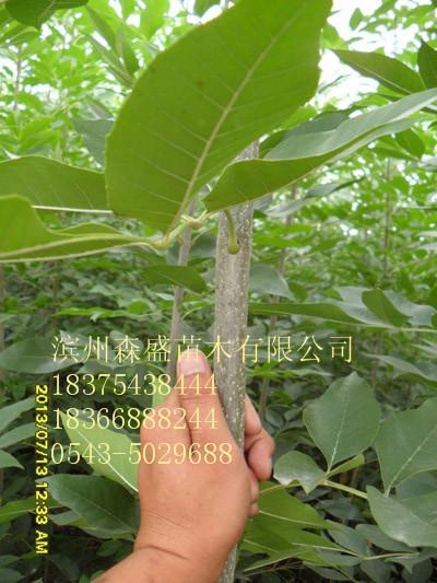 供应白蜡树价格刺槐树价格国槐树价格