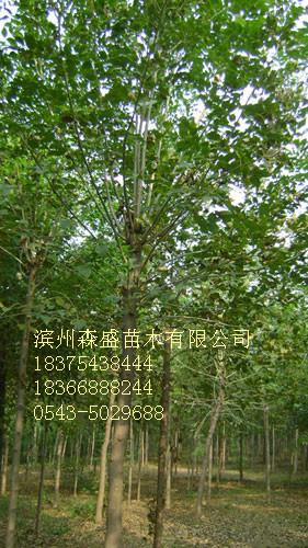 天津白蜡树北京白蜡价格优质白蜡小苗价格