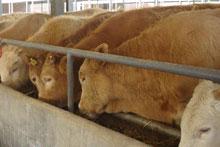 养牛养羊山东盛华牧业教你如何建好养牛场,养羊场