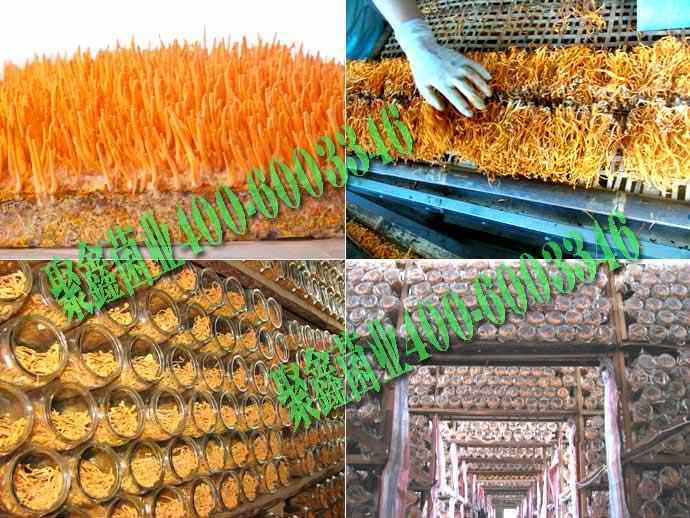 北虫草种植技术/蛹虫草种植技术/北冬虫夏草种植技术